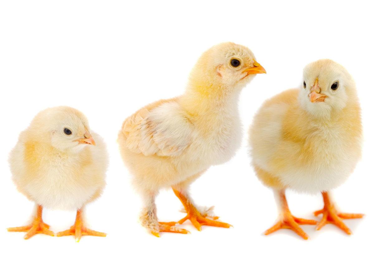 Kurczak nadbiebrzański z Podlasia